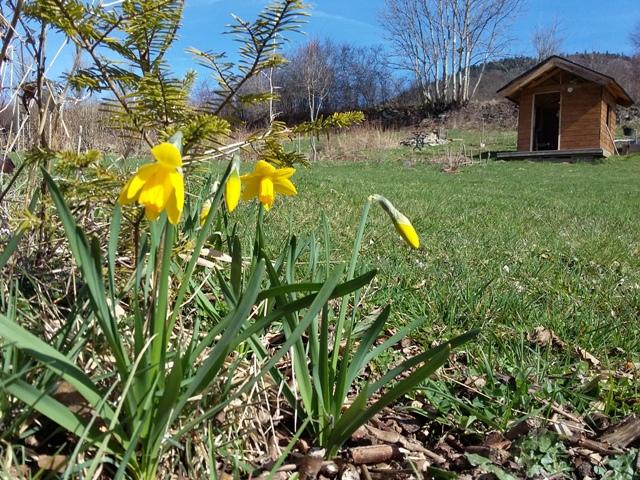 Jonquilles printemps yourte