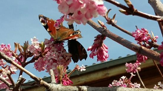 Papillons paon du jour